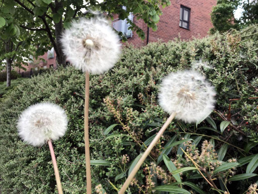 Dandelion Stock Photo Image To Represent Hay Fever In The Uk Dandelion Hay Fever Pollen Allergies