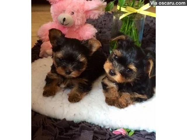 Teacup male and female Yorkshire Puppies