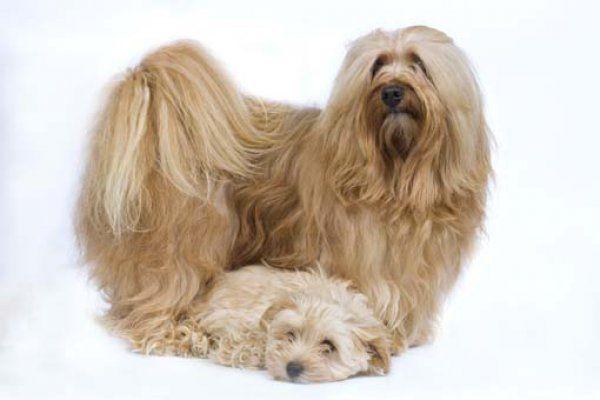 Photos de bichon havanais Dogs, Havanese, Animals