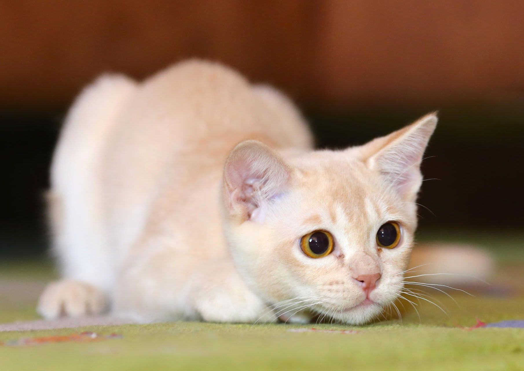 Hd wallpaper cat - Animal Cat Hd Wallpapers And Latest Pictures Photos Gallery