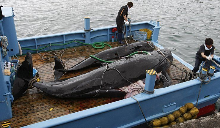 !!HELP STOP!! Japan's PM 'Shinzo Abe' encouraging Whaling