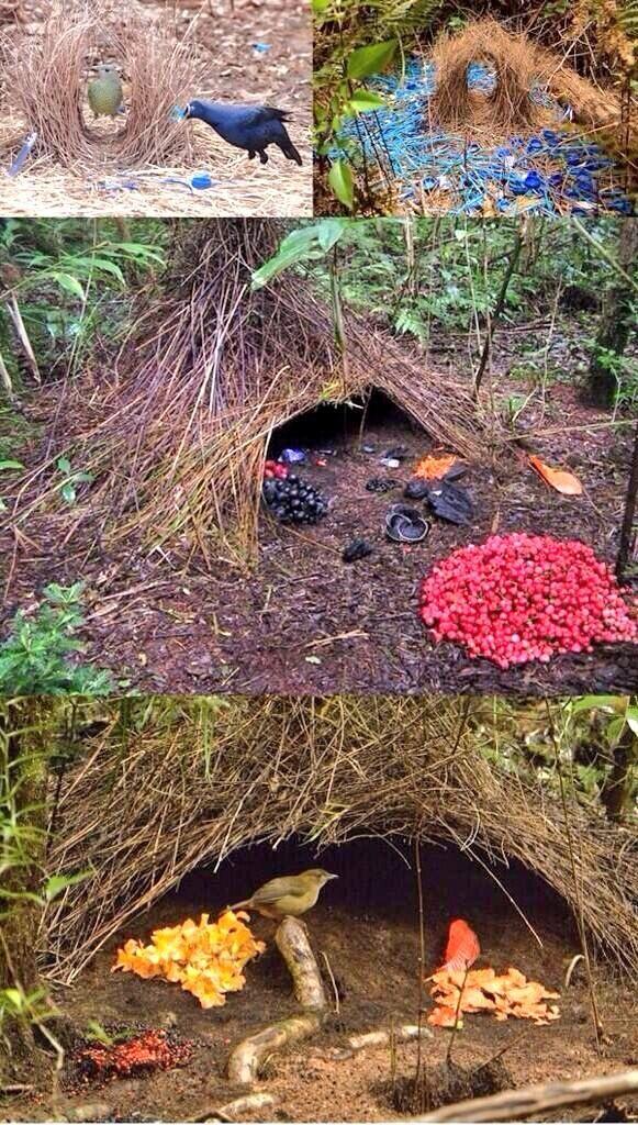 طائر التعريشة يجذب الإناث بطريقة فريدة حيث يقوم الذكر ببناء العش وتزيينه بالأشياء ذات الألوان الزاهية لجذبها Bird Bath Outdoor Decor Outdoor