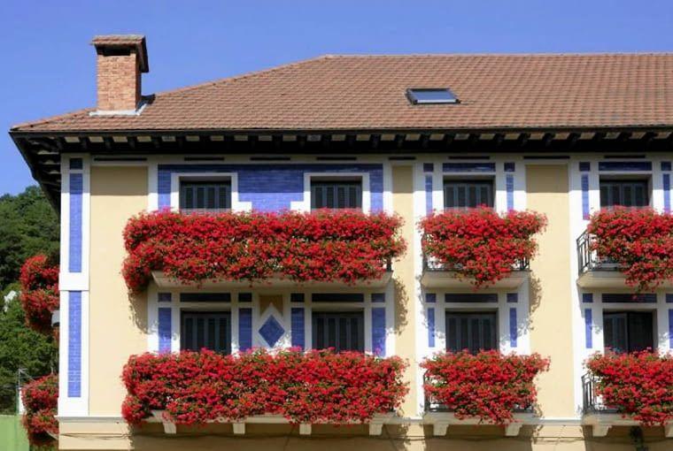Pelargonia Bluszczolistna Kwiaty Balkonowe