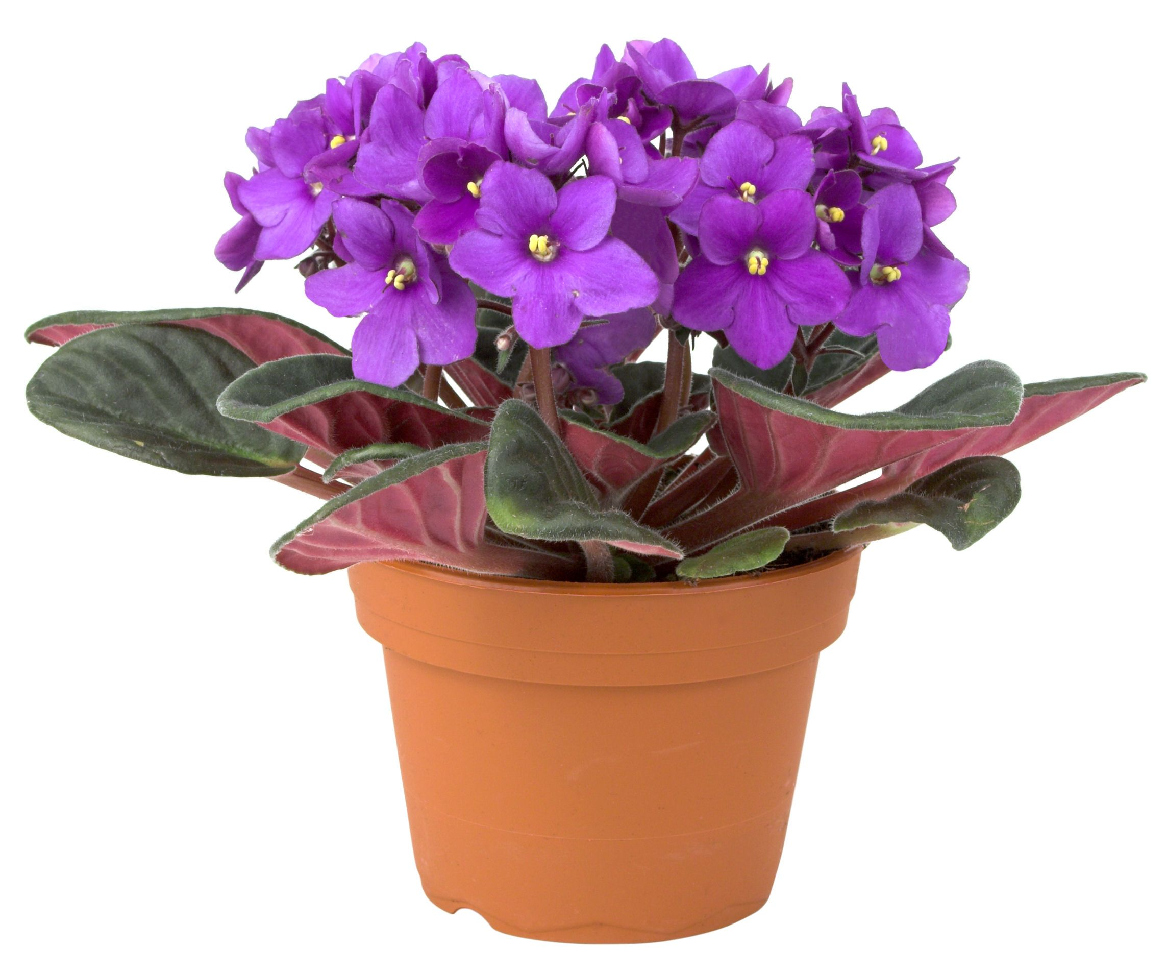 spruce up your dorm with flowers 6 perfect plants for dorm - Flowering House Plants Purple