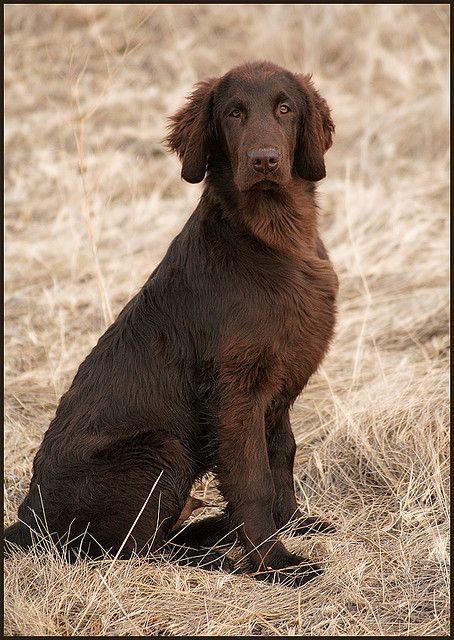 Tinbie Sit Dog breeds, Dogs, Flat coated retriever