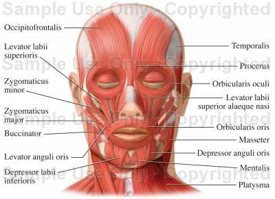 muscles of the face (facial muscles) - medical illustration, human, Muscles