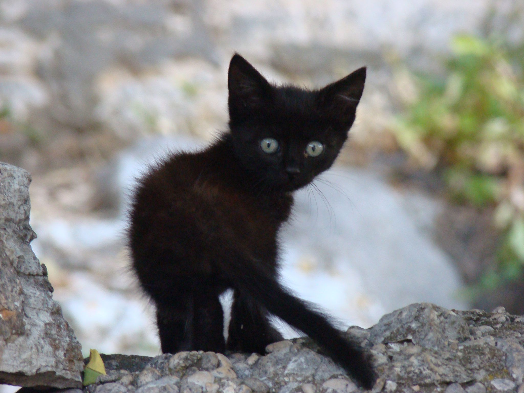 Image result for black kitten