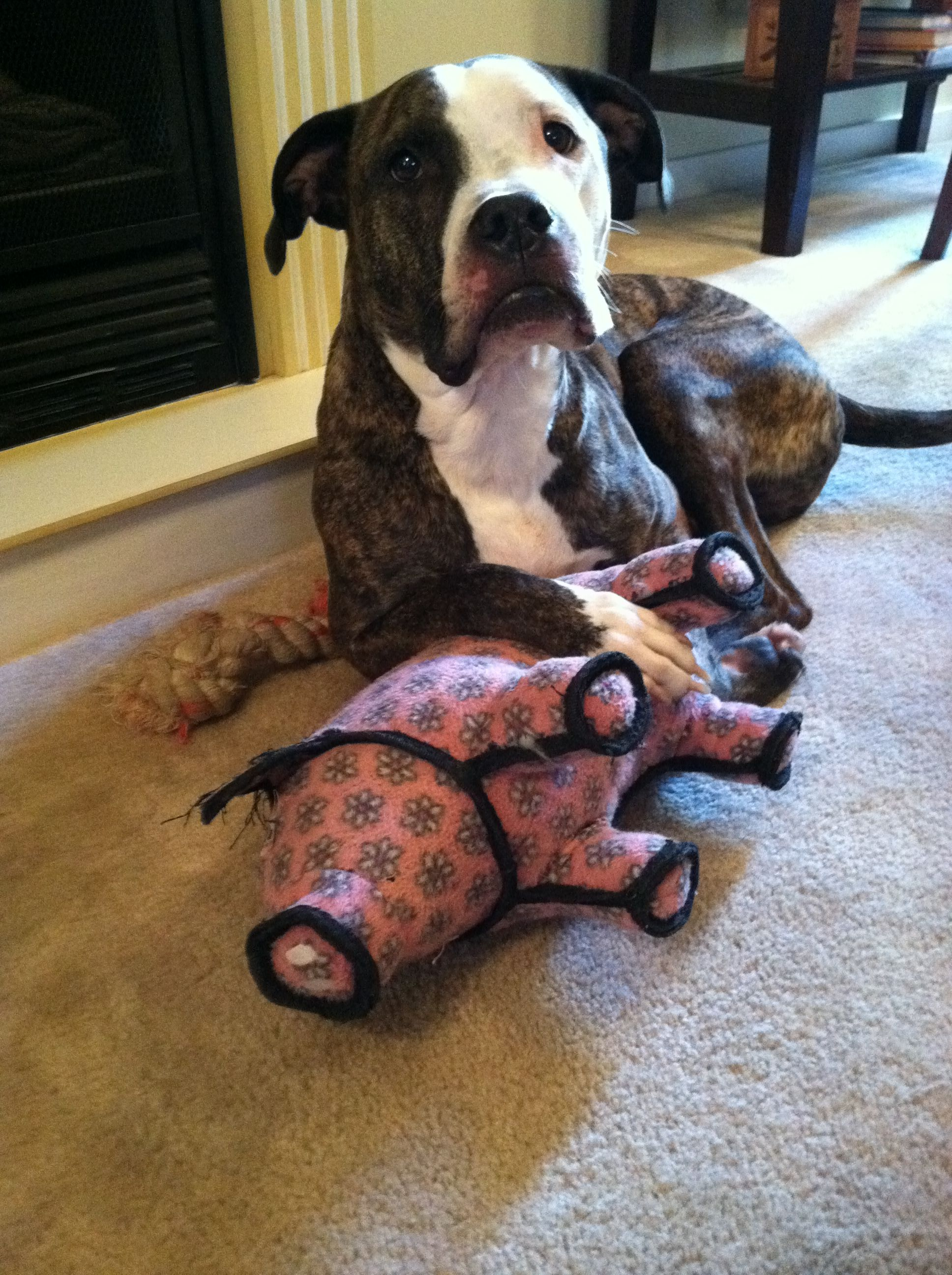 Buster Brown My Shelterdog Pitbull With His Toy Pig Shelter Dogs Dogs I Love Cats