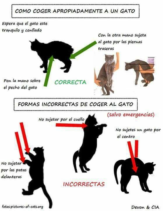 Manera correcta de coger a un gato | Gatos, cats, TIPS | Pinterest ...