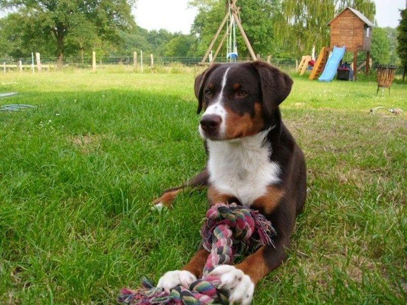 Pin Von S Auf Hunde Dogs Appenzeller Hund Hunde Sennenhund