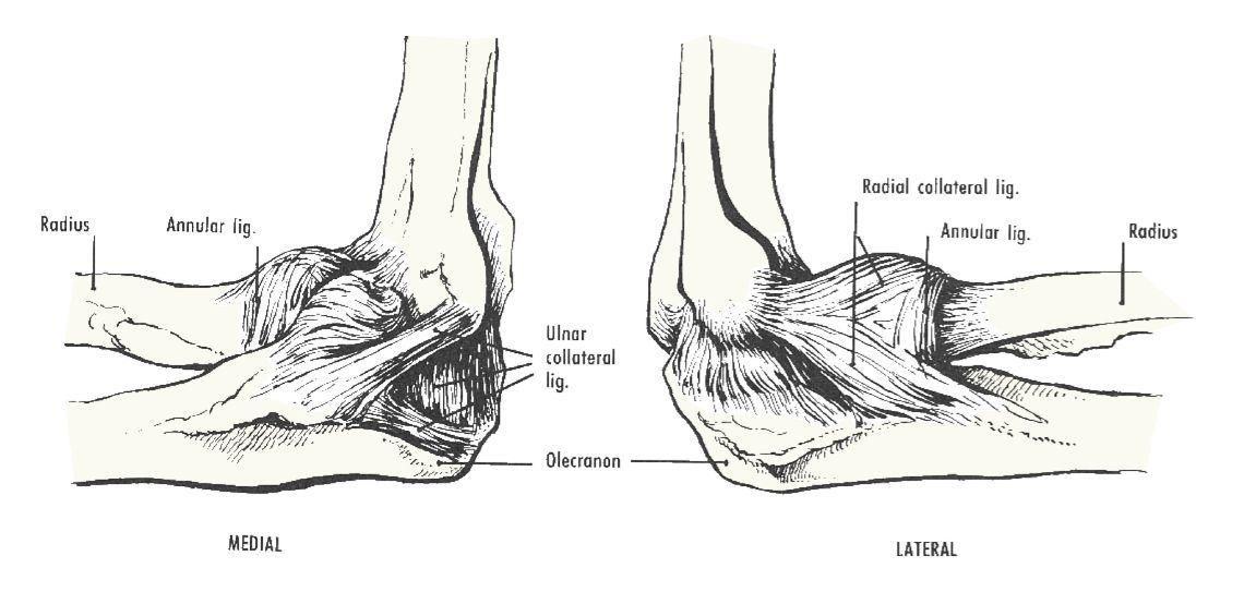 Ligaments Of The Elbow Upper Limb Pinterest
