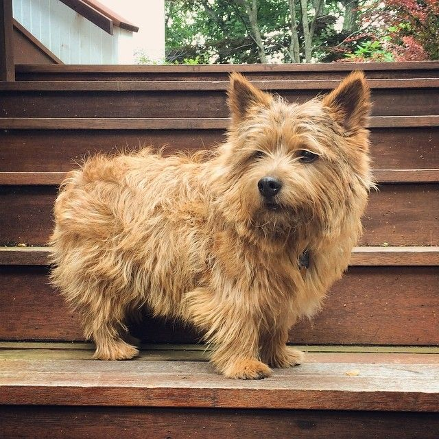 Norwich Terrier Teddythenorwich On Instagram Norfolk Terrier