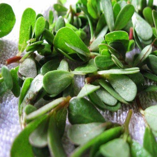 Γλιστρίδα ή Αντράκλα   συνταγή για σαλάτα