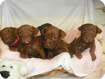 Waldorf Md Labrador Retriever Mix Meet Pepper A Puppy For Adoption Lab Mix Puppies Labrador Retriever Puppy Adoption