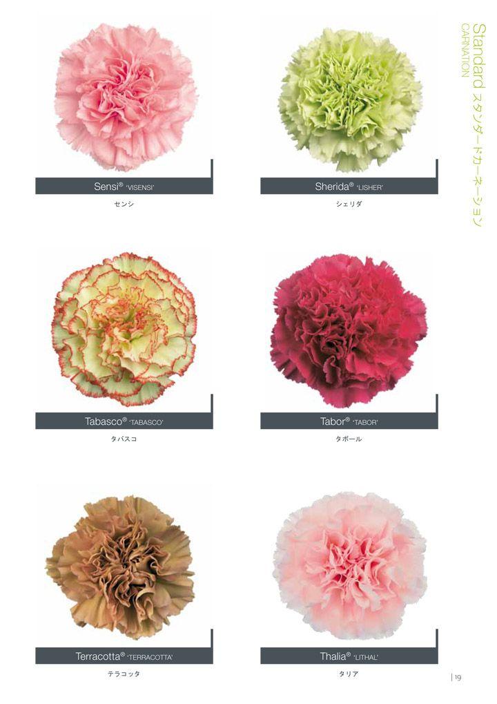 Hilverdakooij Carnation Catalogue 2013 Carnation Flower Carnations Blooming Flowers