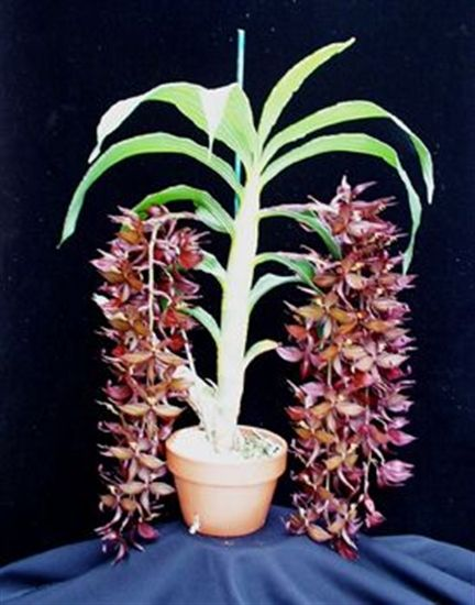 Cycnoches cooperi presented by Orchids Limited