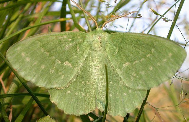 Large Emerald Geometra Papilionaria Con Imagenes