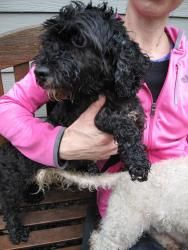 Shelby Is An Adoptable Poodle Dog In South Orange Nj Shelby Is