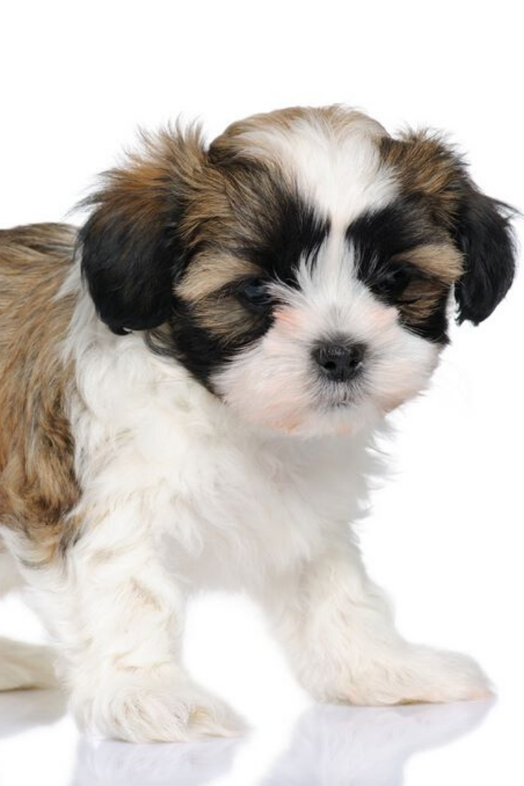Puppy Mixed Breed Dog Between Shih Tzu And Maltese Dog 7 Weeks In Front Of A White Background Shihtzu Shih Tzu Puppy Mix Maltese Dogs