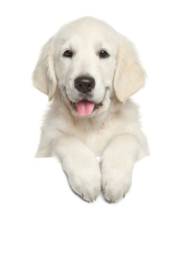 Golden Retriever Puppy Above White Banner Looking At Camera Isolated On White Background Goldenretrie Golden Retriever Golden Retriever Puppy Retriever Puppy