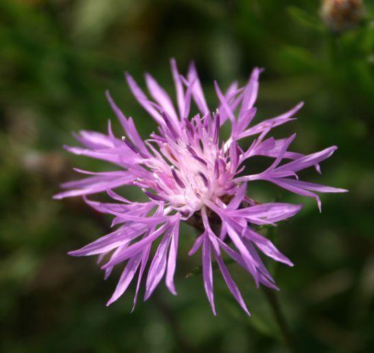 centaurée jacée, fleur sauvage du québec que l'on voit dans les