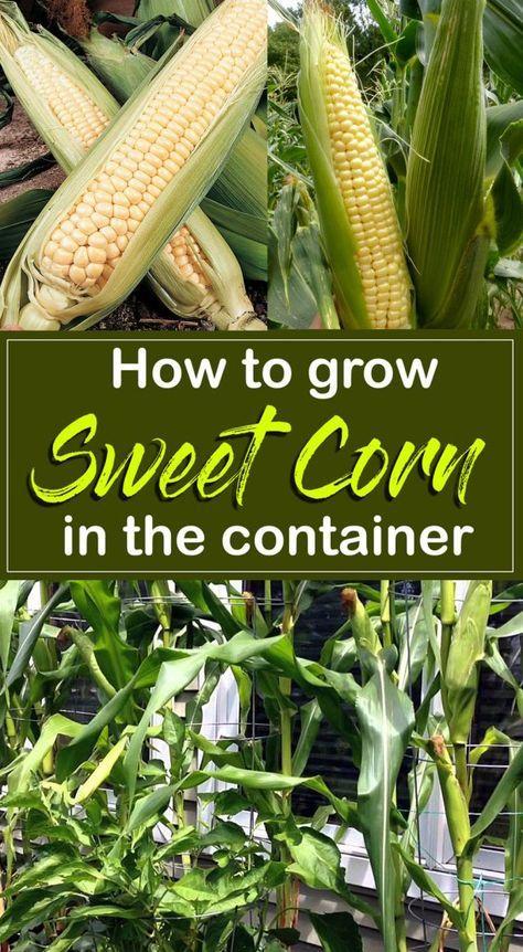 How to grow Corn | Growing sweet corn, Sweet corn, Corn plant