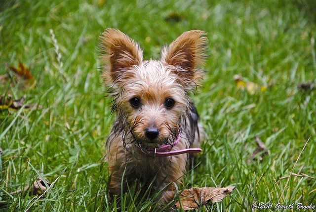 Cute Dog (Jack Russell/Yorkshire Terrier) by Gareth Brooks, via Flickr
