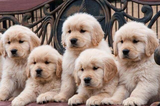 Pin By Michaela On Cute Retriever Puppy Cute Dogs Puppies