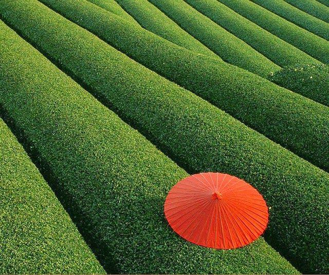 Os campos de chá, China.