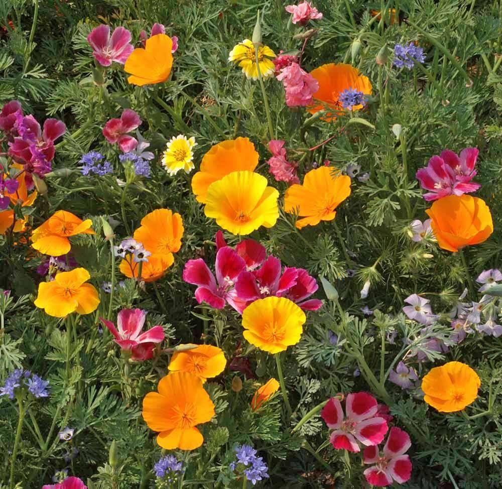 Northwest Native Mix, Wildflower Seed Wildflower seeds