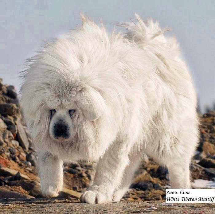 Tibetan Mastiff Lion | Lion Head, Looks Like Lion, Expensive Dog
