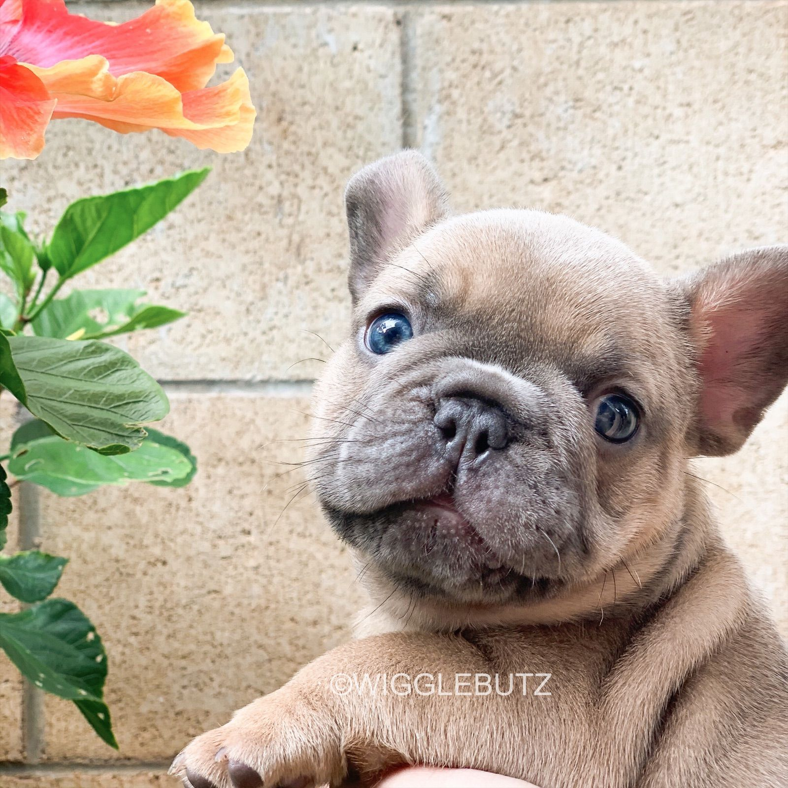 Blue Fawn Baby Frenchie Puppy In 2020 Bulldog Puppies Blue Fawn French Bulldog Bulldog Puppies For Sale
