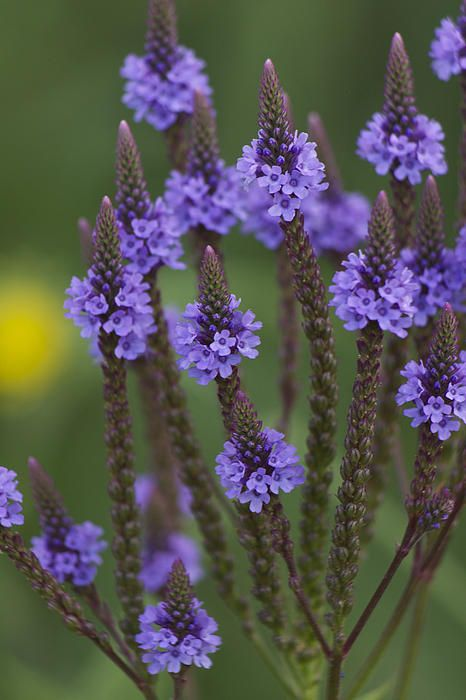 Blue Vervain | Photography by Penny Meyers | Flora garden