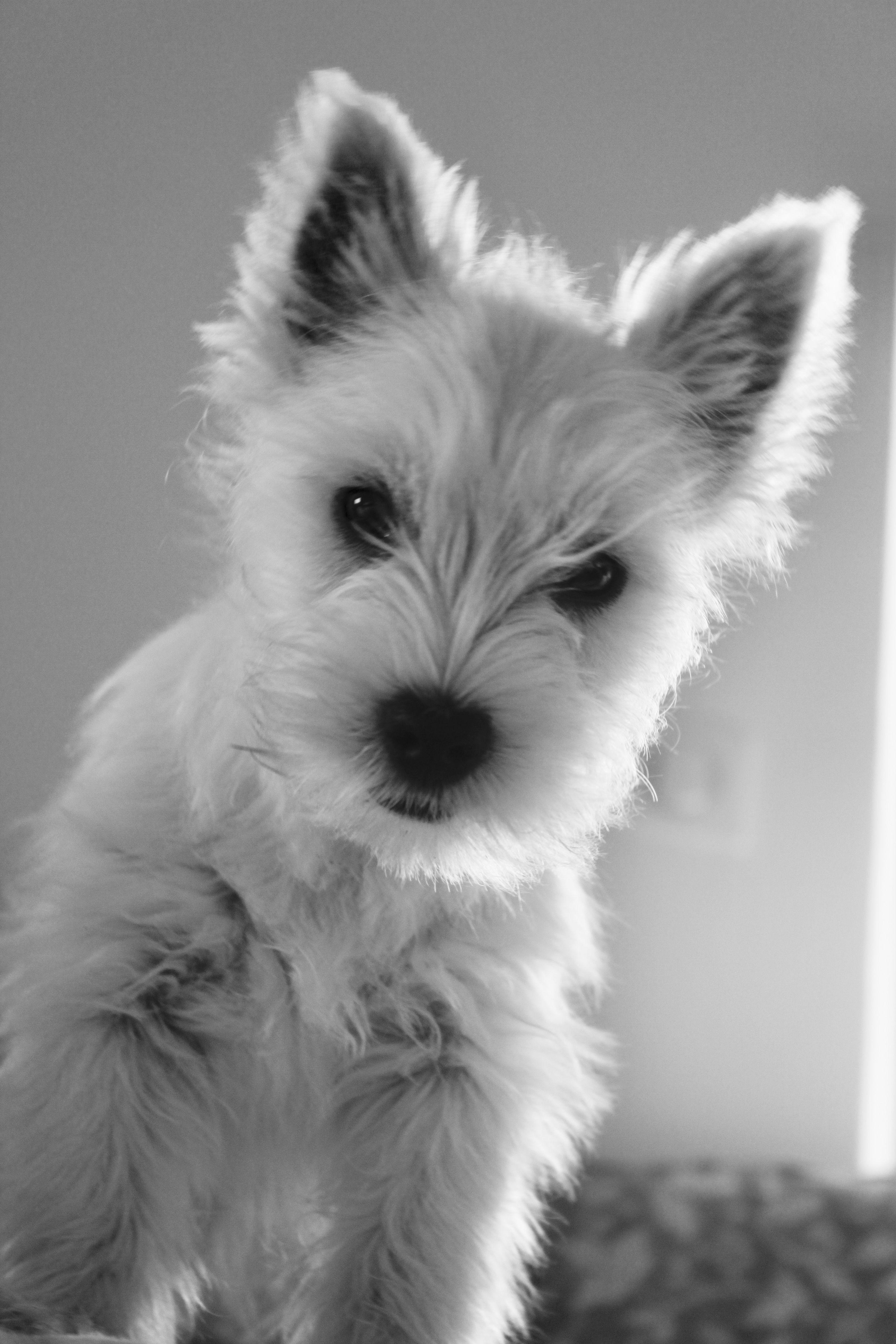 Westie puppy Romy Westie chiot Chiot, Toutous, Animaux