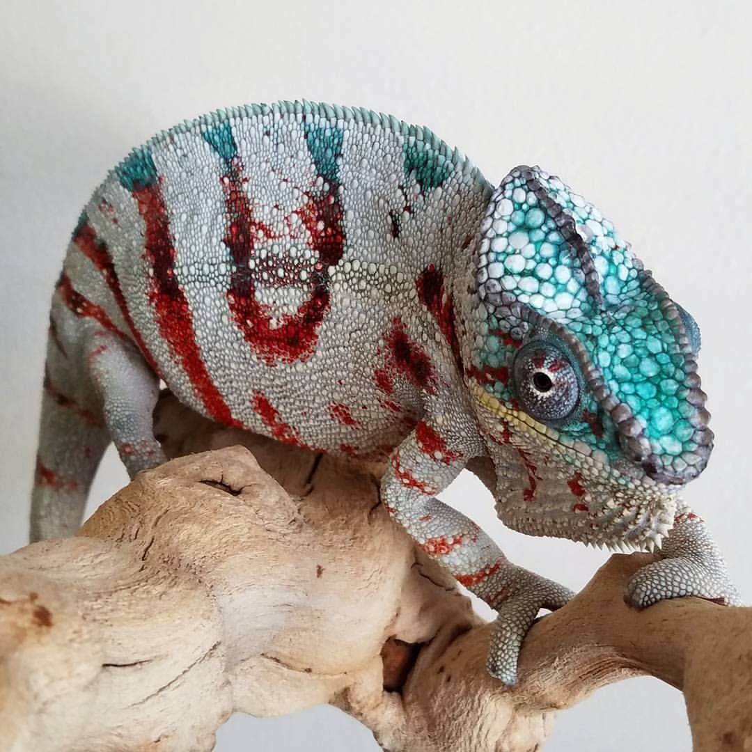 Pretty Baby Chameleon Pet Animal Illustration Cool Pets