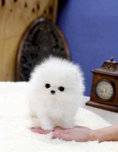 Teacup White Pomeranian Puppy Love Obsession White Pomeranian Puppies Pomeranian Puppy Pomeranian Puppy For Sale
