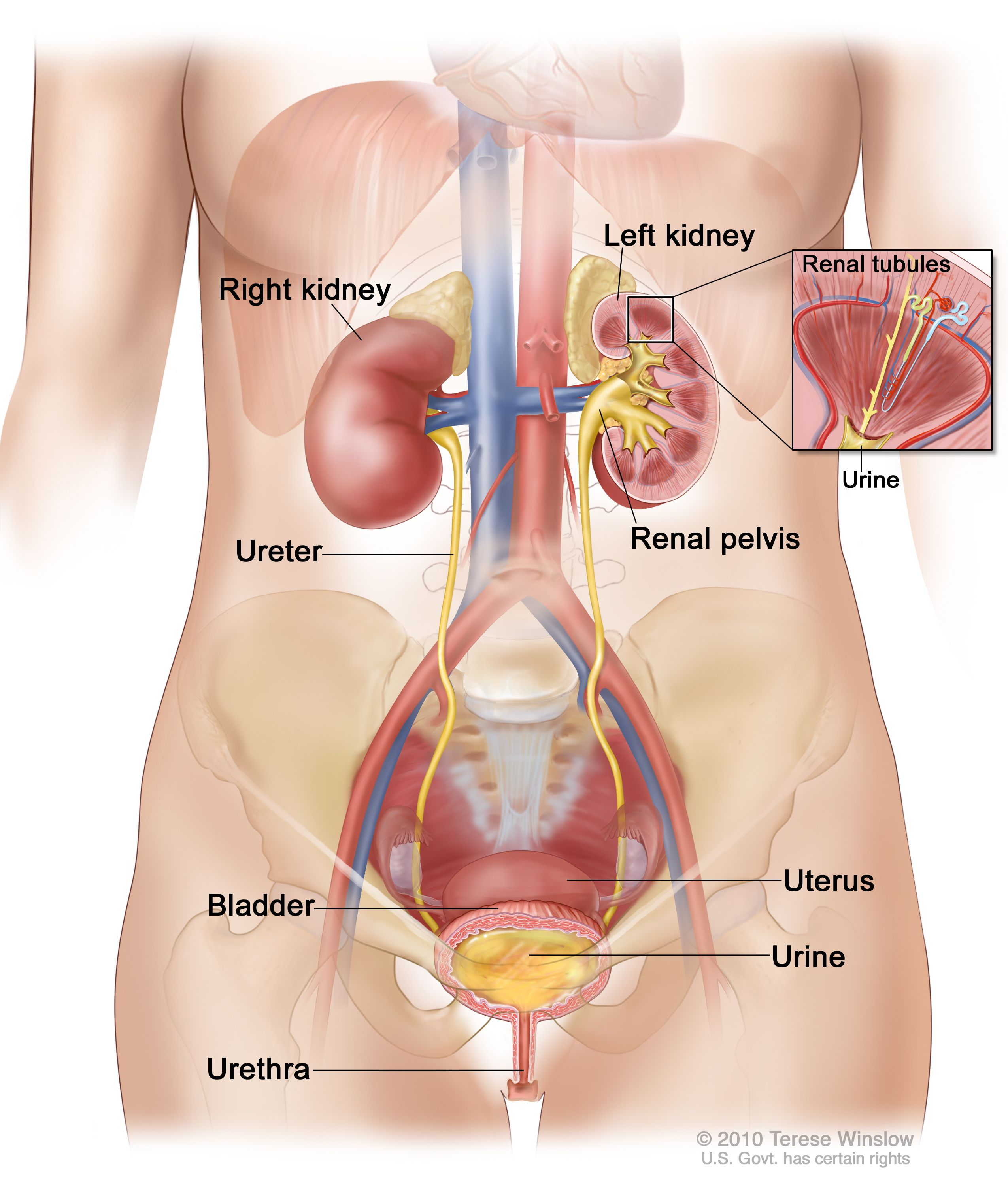 Kidney Location In Women Anatomy Of The Female Urinary System