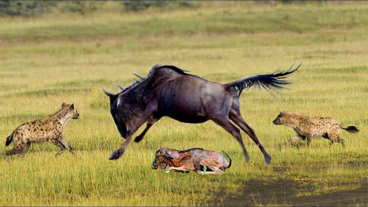 Amazing Wildebeest Save Mother & Newborn Baby Wildebeest From Hyena ...