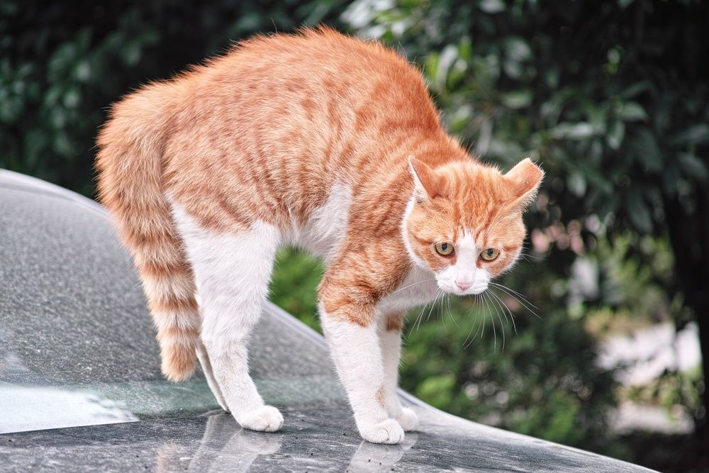 What Does a Cat's Arched Back Mean? Cats outside, Cat