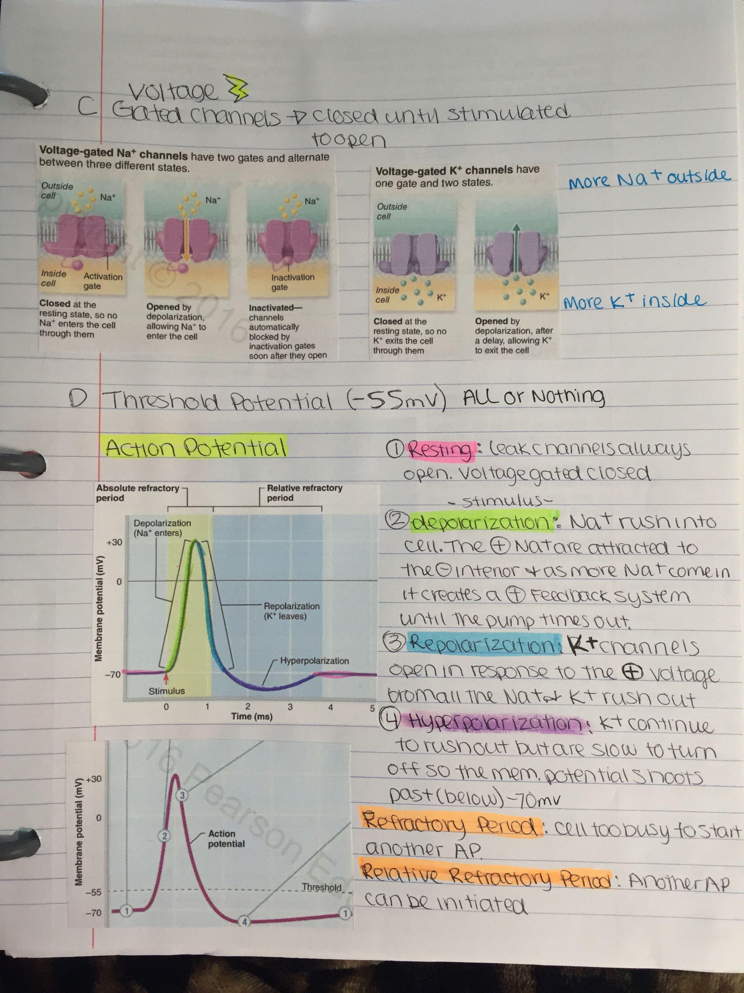 Action potential. depolarization | edu | Pinterest | Fisiología ...
