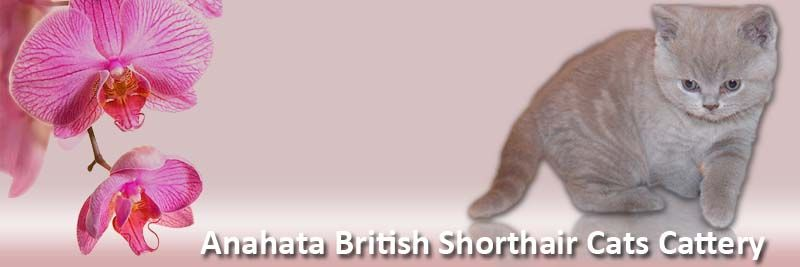 Anahata British Shorthair Cattery And British Shorthair Kittens