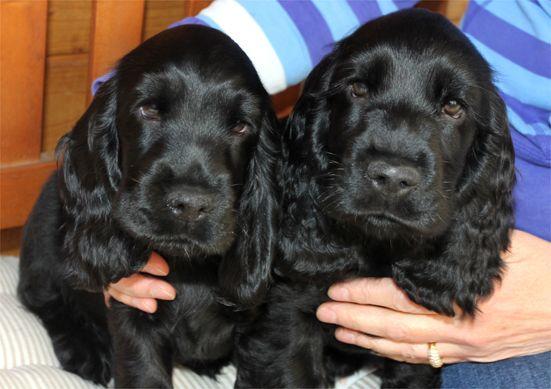 Benji Und Balduin Sind Glucklich Bei Ihren Familien Angekommen Cocker Spaniel Spaniel Puppies