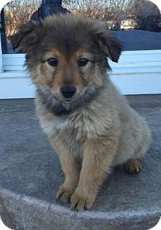 Erie Co Chow Chow Australian Shepherd Mix Meet Madden A Puppy