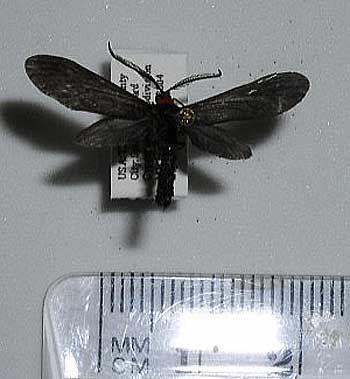 4624 – Harrisina americana – Grapeleaf Skeletonizer Moth – (Guérin, 1829)