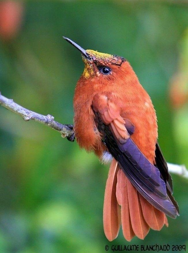 Hummingbird, Juan Fernandez (Robinson Crusoe) island, Chile フェルナンデスベニイタダキハチドリ