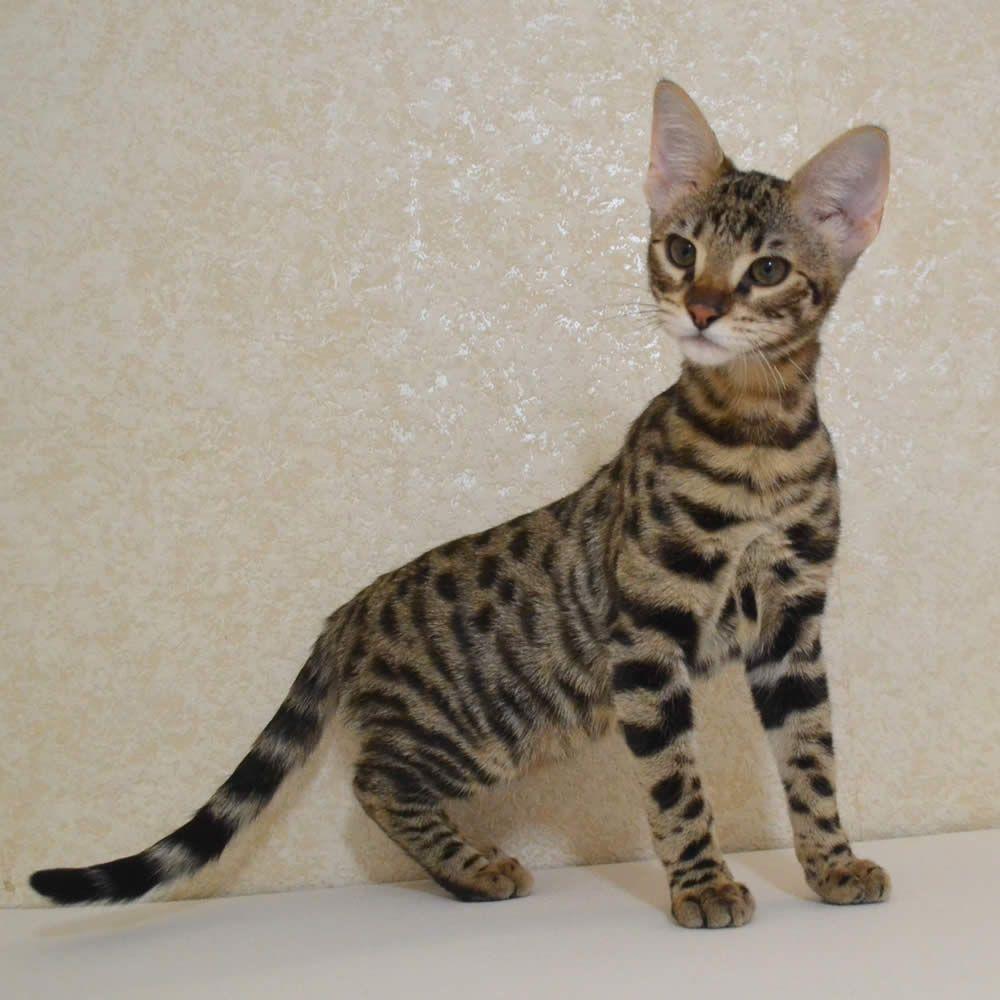 Beautiful F2 Savannah Kittens By Amanukats Com Savannah Kitten Kitten Images Savannah Cat