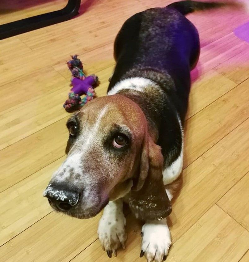 90 Dog Names That Start With B Dog Names Basset Hound Dog Basset Hound