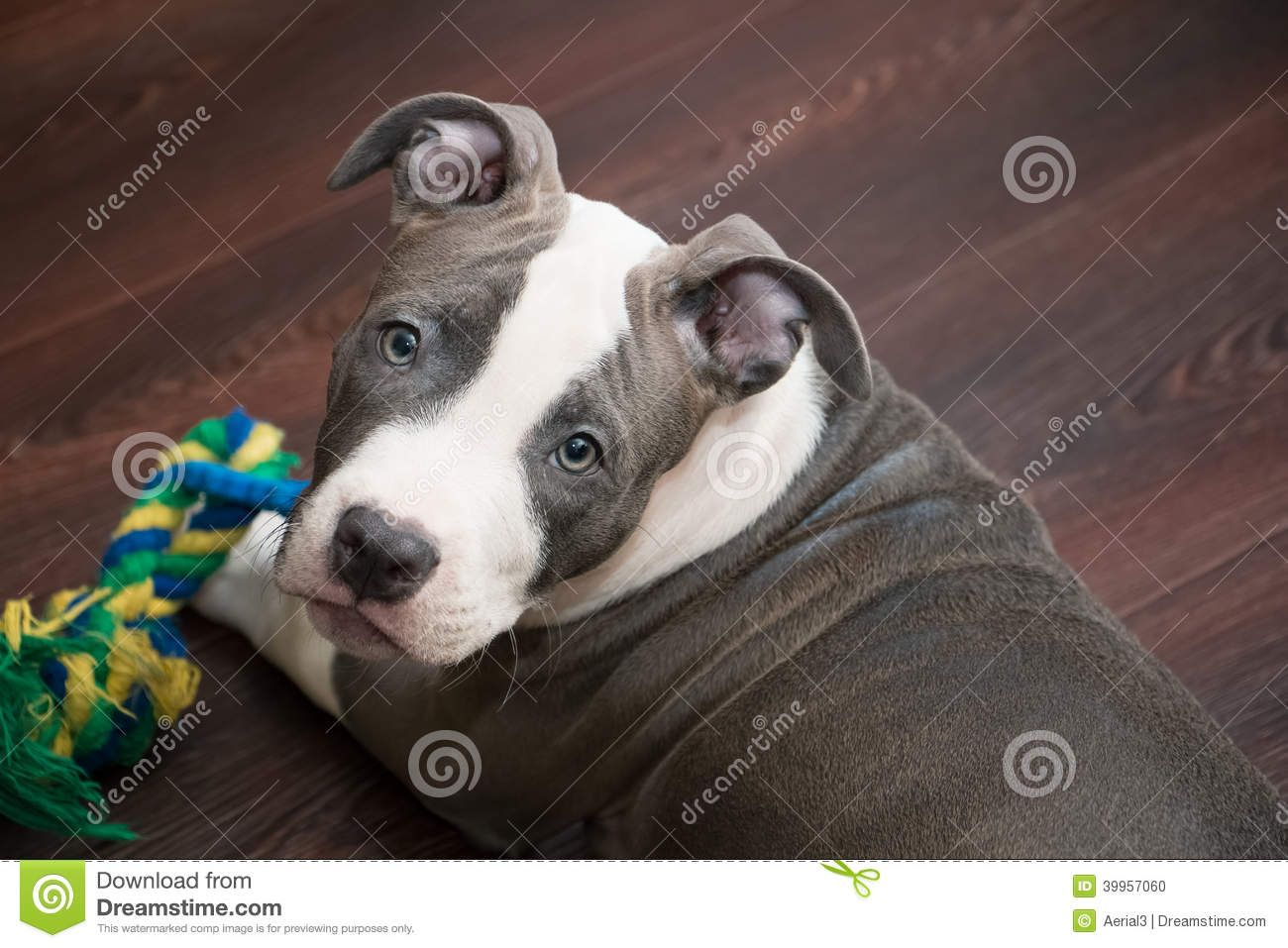 Gray And White Pitbull Puppies Pitbulls Pitbull Puppies White