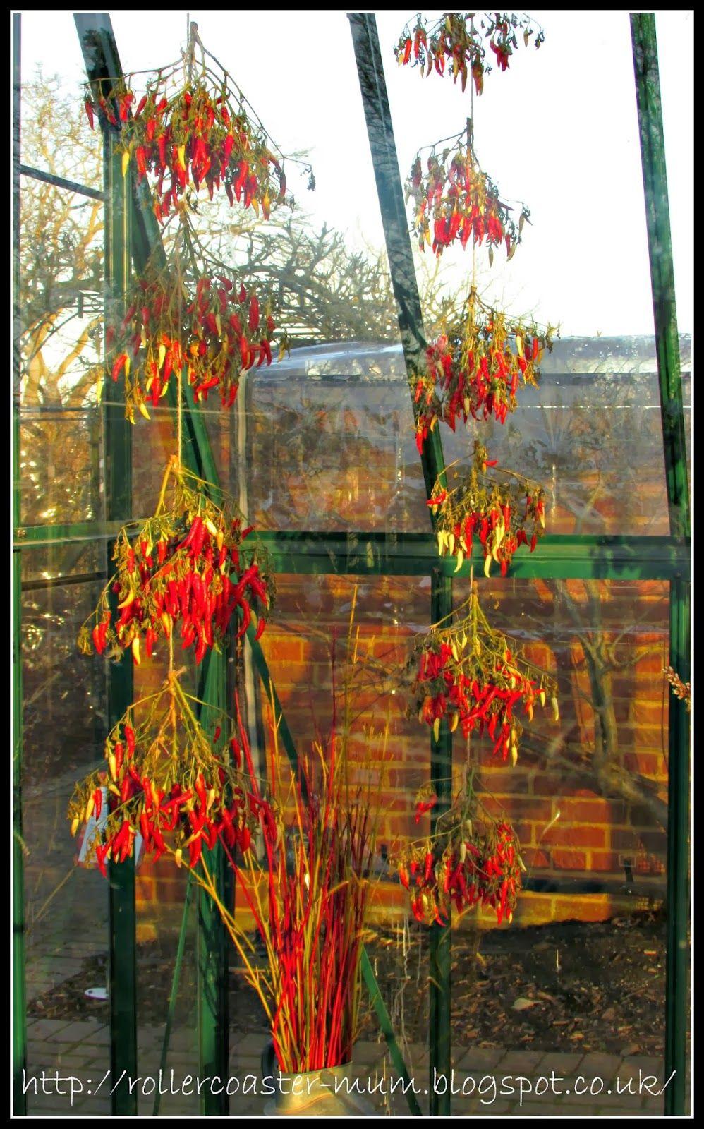 greenhouse Fruit Demo Garden RHS Wisley - drying chillies ...