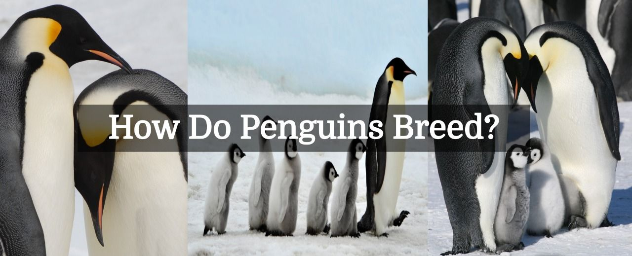 How Do Penguins Breed And Reproduce A Question Often Pops Out In Our Minds That How Does A Penguin Increase Its Number Penguin Breeds Penguins Breeds